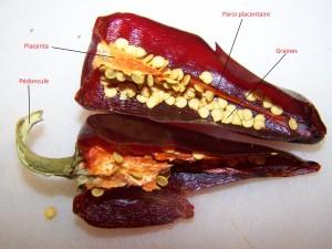 anatomie piment d'espelette