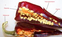 La culture du piment d espelette blog sur le piment d 39 espelette - Graine de piment d espelette ...